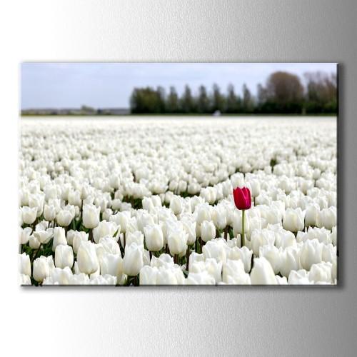 Beyaz Laleler İçinde Kırmızı Lale Kanvas Tablo