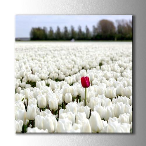 Kare Beyaz Laleler İçinde Kırmızı Lale Kanvas Tablo
